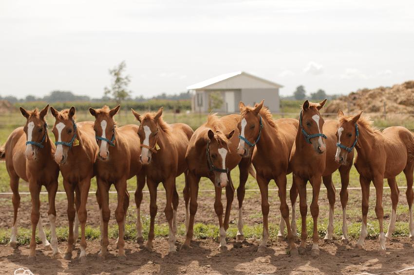 horse cloned